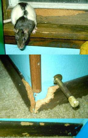 Rat Proofing your house