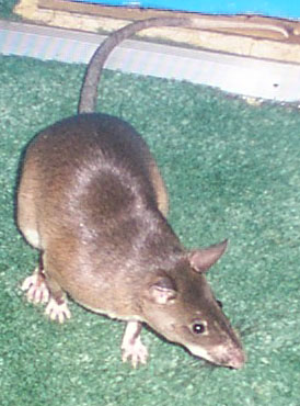 Sexually mature rat